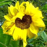 Helianthus Sunflower YG