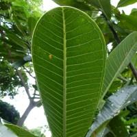 Plumeria leaf YG