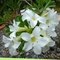 adenium white 2YG