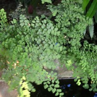 adiantum aethiopicumYG
