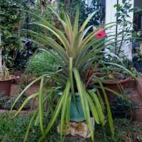 ananas pinappleYG