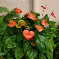 anthurium andreanum malYG