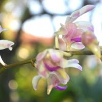 arachnis flos-aeris var orchidYG
