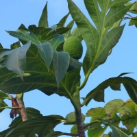 artocarpus altilis 2508 fruit YG