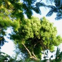 azadirachta indica treeYG