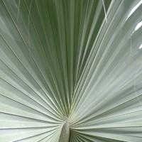 birmark leafYG