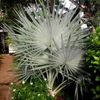 bismark palm msYG