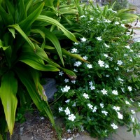 catharanthus seaYG