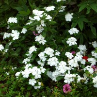 catharanthus whYG
