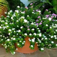 catharanthus100