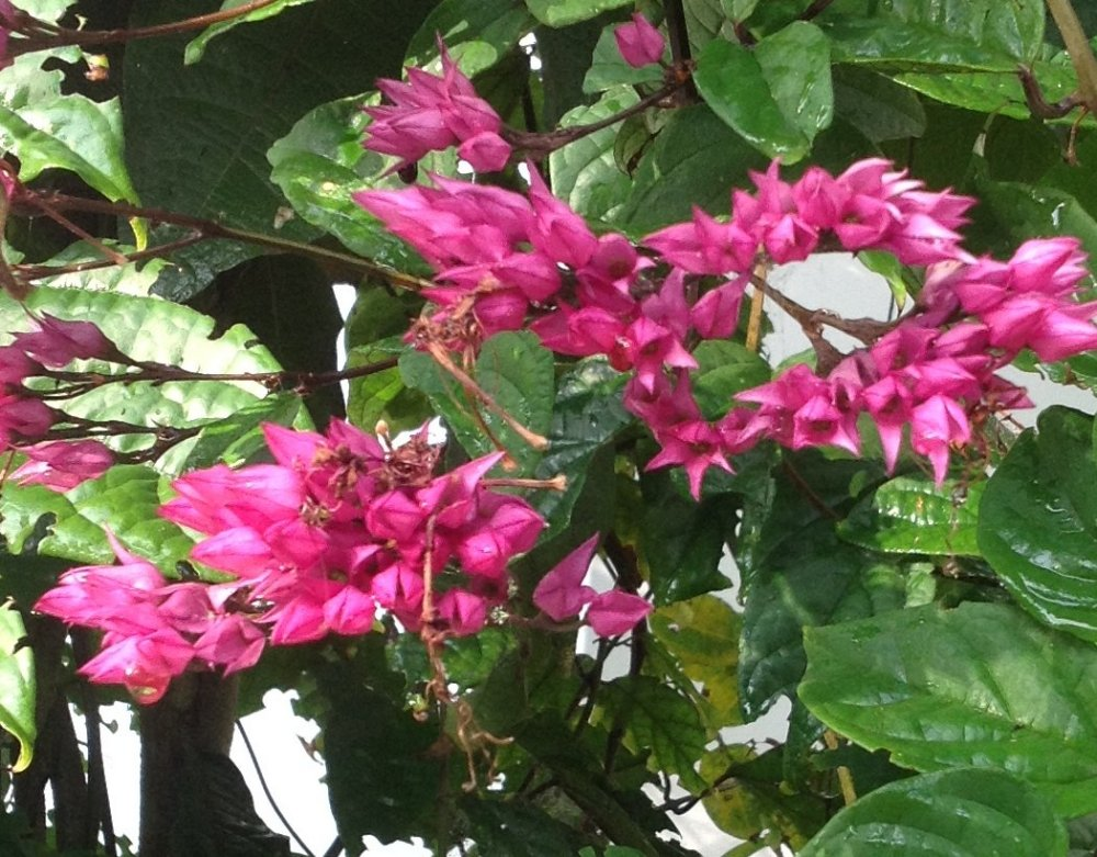 clerodendrum-splendens-161016-sm