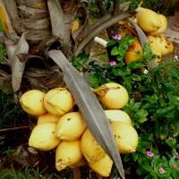 cocos nucifera dtYG