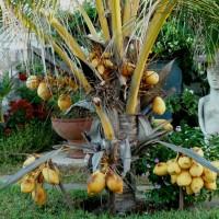 cocos nucifera golden malay dwarf cocoYG