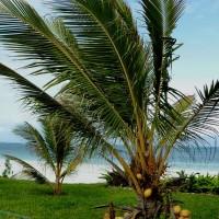 cocos nucifera3YG
