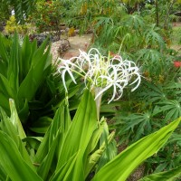 crinum asiatic xYG