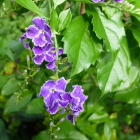duranta repensYG
