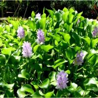eichhornia crassipes b YG