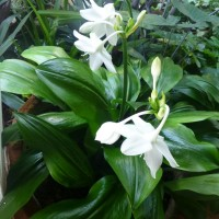 eucharis foliage YG