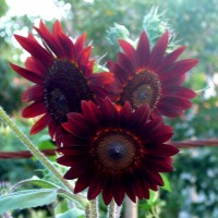 helianthus red YG