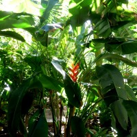 heliconia plant YG