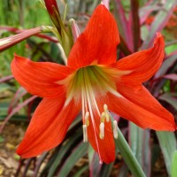 hippeastrum aglaiae d red YG