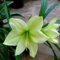 hippeastrum yellow YG