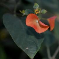 holmskioldia flower YG