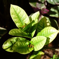 ixora choloritic leaves GY