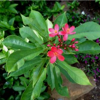 jatropha integerrima new YG