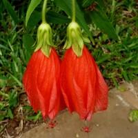 malvaviscus red dt YG