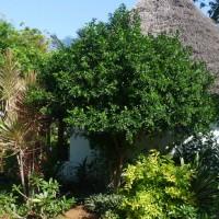 murraya paniculata tree YG