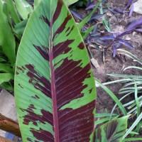 musa sumatrana leaf YG