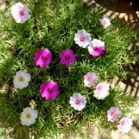 p grandiflora bic mxd ml1 YG