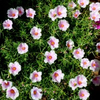 p grandiflora bicolour 1000