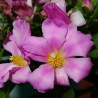 pereskia grandifolia 1 YG