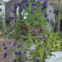 petunia blue YG