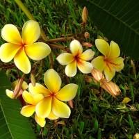plumeria yellow YG