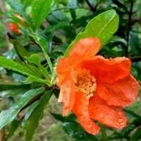 pommegrannet flower YG