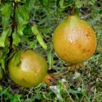 pommegrannetfruit ml YG