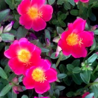 portulaca red dt YG