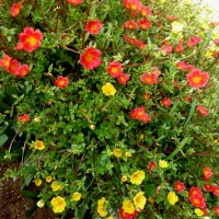 portulaca red yellow YG