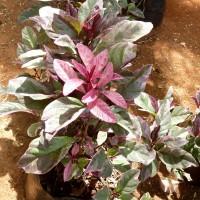 pseuderanthemum reticulatuma YG
