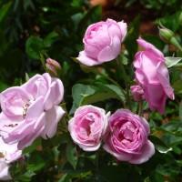 rose lg YG