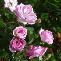 roses1 YG