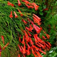 russelia equisetiformis 1YG