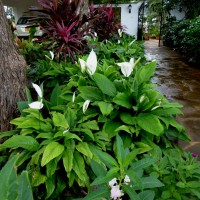 spathiphyllum hs group YG