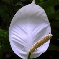spathiphylluma cl YG