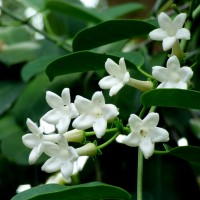 stephanotis 2015 a YG