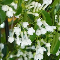 stephanotis flowers YG