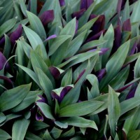 tradescantia group 1 YG